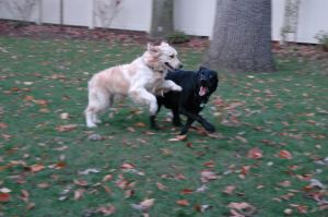 Brodie frolicking with his buddy Trace